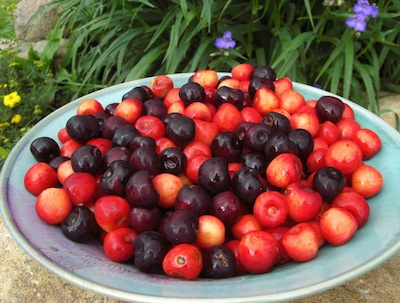 What George Washington Didn't Know About Cherries