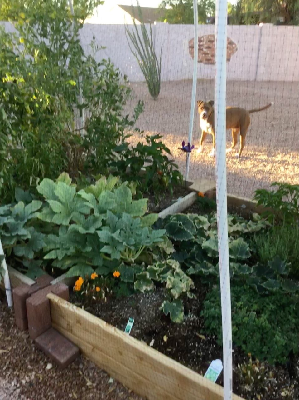 ️I Havenu0027t Posted A Pic Of My Raised Garden In Some Time So Here Is A Shot  Of It With My Sophie. The Garden Has Been ...